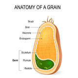 Anatomy of a grain. inside the seed. Anatomy of a grain. cross section. inside the seed. parts of whole grain: endosperm, bran with aleurone layer, germ radicle stock illustration