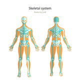 Anatomy guide of human skeleton. Anatomy didactic board of human bony system. Front and rear view. Stock Photo