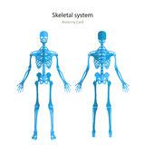 Anatomy guide of human skeleton. Anatomy didactic board of human bony system. Front and rear view. Royalty Free Stock Photos