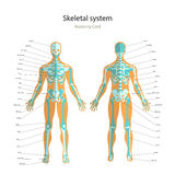 Anatomy guide of human skeleton with explanations. Anatomy didactic board of human bony system. Front and rear view. Stock Image