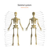 Anatomy guide of human skeleton with explanations. Anatomy didactic board of human bony system. Front and rear view. Stock Photos