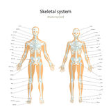 Anatomy guide. Male and female skeleton with explanations. Front view. Stock Photography