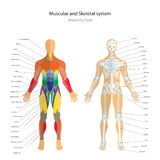 Anatomy guide. Male skeleton and muscles map with explanations. Front view. Stock Images