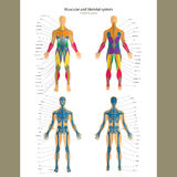 Anatomy guide. Male skeleton and muscular system with explanations. Front and back view. Stock Image