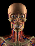 Anatomy Head. Computer Graphic. Human Head in 3D Royalty Free Stock Photo