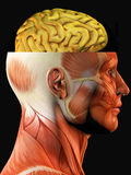 Anatomy of head and brain Stock Photography