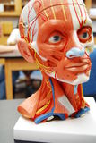 Anatomy Head. Photo of the anatomy model for the muscles in the head and neck at a community college in Florida Stock Photo