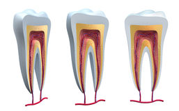 Anatomy of healthy teeth in details Stock Image