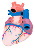 Anatomy of the heart Royalty Free Stock Photo
