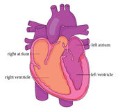 Anatomy of the Heart Royalty Free Stock Image