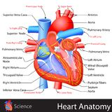 Anatomy of Heart. Easy to edit vector illustration of anatomy of heart Stock Images