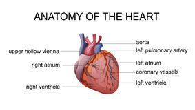 ANATOMY OF THE HEART. ILLUSTRATION of the human heart Royalty Free Stock Photography