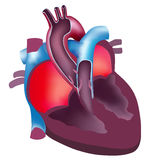 Anatomy of the heart. Anatomy illustrations of the Heart on a white background stock illustration