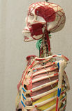 Anatomy human body model. Part of human body model with organ system. Anatomy human body model. Part of human body model with organ system Stock Photos