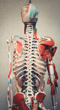 Anatomy human body model. Part of human body model with organ system royalty free stock photography