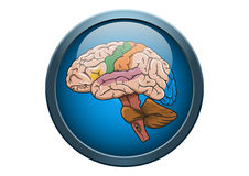 Anatomy of Human Brain Illustration Medical Button Stock Photo