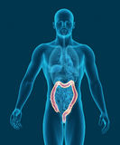 Anatomy of human colon with digestive organs 3d illustration Royalty Free Stock Image