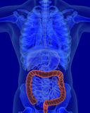 Anatomy of human colon with digestive organs. In x-ray view stock illustration