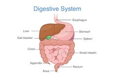 Anatomy of Human digestive system. Stock Images