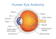 Anatomy of human eye and descriptions. Components of human eye. Illustration about Anatomy and Physiology Stock Photos