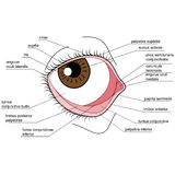 Anatomy of the human eye Stock Photo