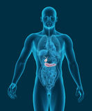 Anatomy of human gallbladder and pancreas with digestive organs. In x-ray view 3d illustration stock illustration