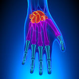 Anatomy of Human Hand and Wrist with Circulatory System. With highlighted zone - pain concept Royalty Free Stock Photo