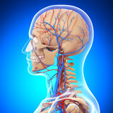 Anatomy of human head circumlocutory system Royalty Free Stock Photo