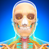 Anatomy of human head nervous system with throat Royalty Free Stock Image