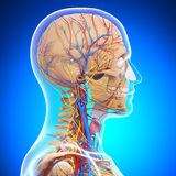 Anatomy of human head skeleton Stock Photo
