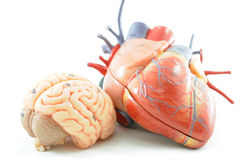 Anatomy of human heart and brain. Close up to anatomy of human heart and brain stock photo