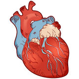 Anatomy human heart Stock Photos