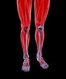 Anatomy of human Legs Stock Image