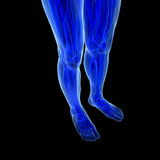 Anatomy of human Legs Royalty Free Stock Images