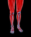 Anatomy of human Legs Stock Image