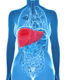 Anatomy of human liver in x-ray view Royalty Free Stock Images