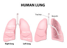 Anatomy of the human lungs Royalty Free Stock Photo
