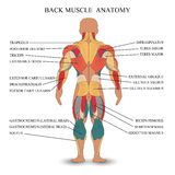 Anatomy of human muscles in the back, a template for medical tutorial, banner, vector illustration. Anatomy of human muscles in the back, a template for medical vector illustration
