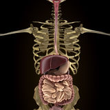 Anatomy of human organs in x-ray view Stock Image