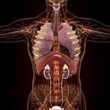 Anatomy of human organs in x-ray view Royalty Free Stock Photo