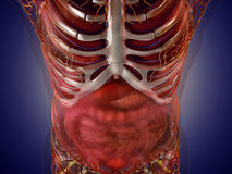 Anatomy of human organs in x-ray view. High resolution. Stock Photography