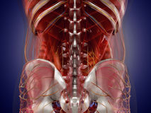 Anatomy of human organs in x-ray view. High resolution. Stock Photos