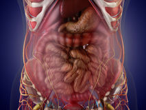 Anatomy of human organs in x-ray view. High resolution. Stock Image