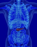 Anatomy of human pancreas with digestive organs. In x-ray view stock illustration
