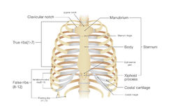 Anatomy of human rib. Stock Photos