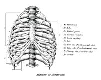 Anatomy of human ribs hand draw vintage clip art isolated on white background royalty free illustration