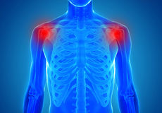 Anatomy of human shoulder joints - injury concept Royalty Free Stock Photo