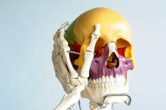 Anatomy of human skull Royalty Free Stock Photos