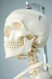 Anatomy of human skull Stock Photography