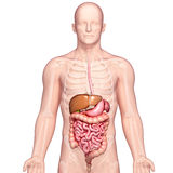 Anatomy of human stomach and liver Royalty Free Stock Photo